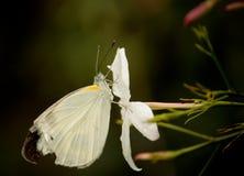 Il bianco di cavolo indiano Fotografie Stock Libere da Diritti