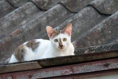 Il bianco e Grey Cat esaminano la macchina fotografica sul tetto Fotografia Stock Libera da Diritti