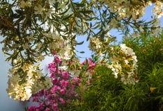 Il bianco ed è aumentato oleandr di fioritura Fotografia Stock