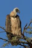 Il bianco ha appoggiato l'avvoltoio su un ramo contro un fondo blu Fotografie Stock Libere da Diritti