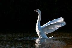 Il bianco ha nuotato allungando le ali sullo stagno Fotografia Stock Libera da Diritti