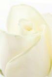 Il bianco a macroistruzione è aumentato Fotografie Stock Libere da Diritti