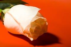Il bianco a macroistruzione è aumentato su colore rosso Fotografia Stock Libera da Diritti