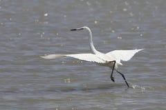 Il bianco Morph dell'egretta rossastra che prende il volo Fotografia Stock Libera da Diritti