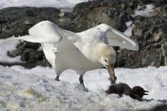 Il bianco morph della procellaria gigante del sud che mangia il pinguino di Adelie Immagini Stock Libere da Diritti