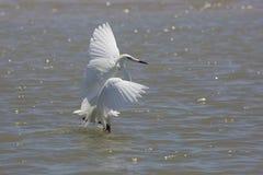 Il bianco Morph di foraggiamento rossastro dell'egretta per l'alimento Immagini Stock