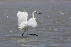 Il bianco Morph di foraggiamento rossastro dell'egretta per l'alimento Fotografia Stock