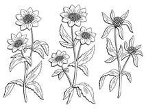 Il bianco nero grafico del fiore del Bidens ha isolato il vettore dell'illustrazione di schizzo Fotografia Stock Libera da Diritti