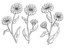 Il bianco nero grafico del fiore della calendula ha isolato il vettore dell'illustrazione di schizzo Fotografie Stock