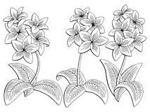 Il bianco nero grafico del fiore di plumeria ha isolato il vettore stabilito dell'illustrazione di schizzo Fotografia Stock