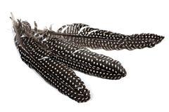 Il bianco nero ha macchiato le piume dei gallinacei di Guine su bianco Immagine Stock Libera da Diritti