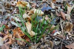 Il biflorus del croco si sviluppa lussureggiante nell'inverno immagine stock
