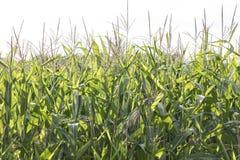 Il BIO- cereale si sviluppa nel campo fotografia stock