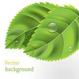 Il bio- verde lascia la priorità bassa con le gocce Fotografie Stock Libere da Diritti