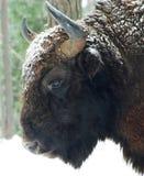 Il bisonte Fotografia Stock Libera da Diritti