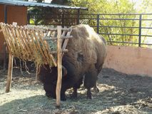 Il bisonte americano Fotografia Stock Libera da Diritti