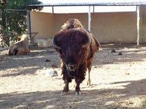 Il bisonte americano Fotografia Stock