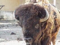 Il bisonte americano Immagine Stock Libera da Diritti