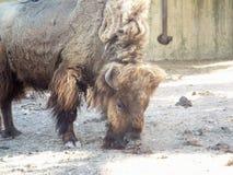 Il bisonte americano Immagini Stock