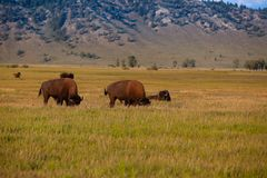 Il bisonte del gregge nel parco nazionale di Yellowstone, Wyoming U.S.A. immagine stock libera da diritti