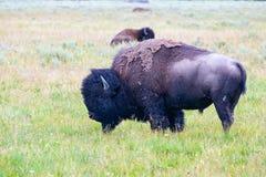 Il bisonte del gregge nel parco nazionale di Yellowstone, Wyoming U.S.A. immagine stock