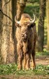 Il bisonte europeo, anche conosciuto come il bisonte o il bisonte di legno europeo Immagini Stock