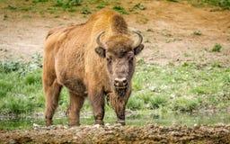 Il bisonte europeo, anche conosciuto come il bisonte o il bisonte di legno europeo Immagini Stock Libere da Diritti