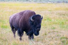 Il bisonte nel parco nazionale di Yellowstone, Wyoming U.S.A. fotografia stock