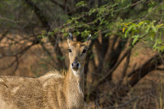 Il Blackbuck Fotografie Stock