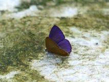 Il blu ciliato comune Immagini Stock Libere da Diritti