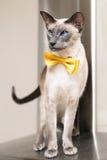 Il blu ha osservato il gatto orientale siamese che indossa una cravatta a farfalla gialla Immagine Stock Libera da Diritti