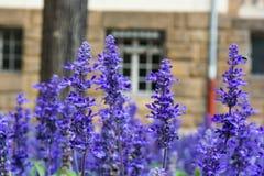 Il blu porpora fiorisce l'europeo di Lilac Field Garden di lavanda Fotografia Stock Libera da Diritti