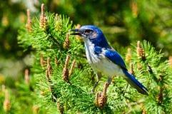 Il blu sfrega il primo piano di Jay Fotografie Stock Libere da Diritti