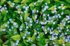 Il blu vivo fiorisce il nontiscordardime che sboccia in primavera Immagine Stock