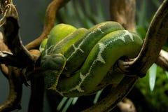 Il boa verde smeraldo dell'albero ha avvolto un ramo Fotografia Stock Libera da Diritti