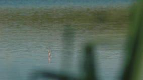 Il Bobber affonda periodicamente nel lago stock footage