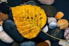 Il bodhi giallo lascia la caduta sullo zen della pietra del fiume, pacifico, Immagini Stock
