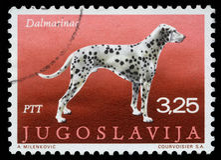 Il bollo stampato in Iugoslavia mostra il dalmata Fotografie Stock Libere da Diritti