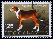 Il bollo stampato in Iugoslavia mostra il segugio Tricolour serbo Fotografia Stock Libera da Diritti