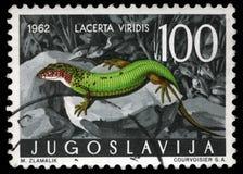 Il bollo stampato in Iugoslavia mostra la lucertola verde europea Fotografie Stock
