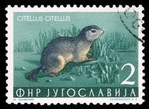 Il bollo stampato in Iugoslavia mostra lo scoiattolo a terra europeo Fotografia Stock