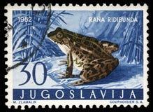 Il bollo stampato in Iugoslavia mostra Marsh Frog Fotografia Stock Libera da Diritti