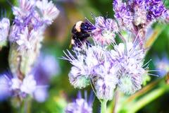 Il bombo che si siede su un fiore e raccoglie il nettare Fotografia Stock