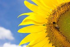 Il bombo dell'insetto raccoglie il nettare da un girasole del fiore Fotografia Stock