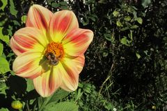 Il bombo impollina il fiore giallo-arancio-rosso della dalia Fotografia Stock Libera da Diritti