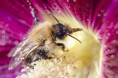 Il bombo raccoglie il polline da un germoglio della malva Fotografie Stock Libere da Diritti