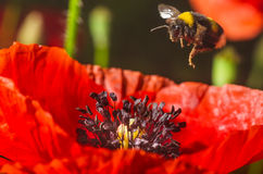 Il bombo vola ad un fiore del papavero rosso per raccogliere il polline Fotografia Stock Libera da Diritti