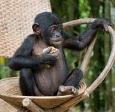 Il bonobo si siede su una sedia Il Republic Of The Congo Democratic Parco nazionale del BONOBO di Lola Ya Fotografia Stock