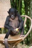 Il bonobo si siede su una sedia Il Republic Of The Congo Democratic Parco nazionale del BONOBO di Lola Ya Immagini Stock