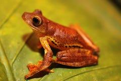Il Borneo - treefrog III di volo del Harlequin Fotografia Stock Libera da Diritti